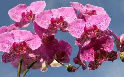 Manfaat Bunga Anggrek Bagi Manusia