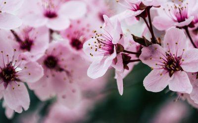 Mengenal Bunga Cantik dari Jepang