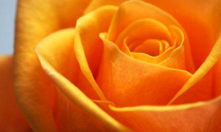 Cara Menanam Bunga Phlox