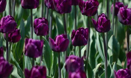 Tips Merangkai Bunga Tulip